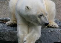 Eisbär mit Riesenpranken