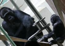 Gorillas - wer beobachtet hier wen?