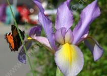 Schmetterling auf Iris, Möhringen