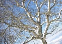 Walnussbaum im Winter, Dornstetten