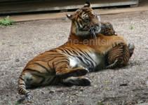 tobende Tiger