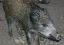 Wildschweine als Nachbarn der Pferdekoppel bei Steffi