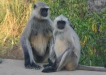 Affen bei Agra