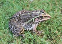 Frosch bei Agra