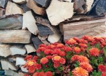Chrysantheme vor Holz