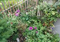 Allium, Akelei und Giersch