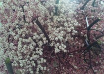 "Blüten ""Black Lace"""