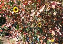 Felsenbirne und Sonnenblumen